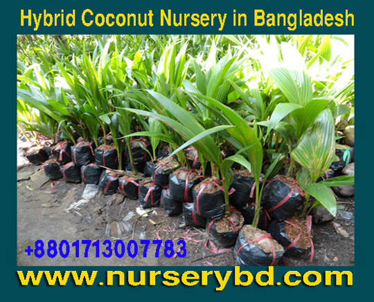 Hybrid Coconut Tree Seedlings Seedling Seed Supplier Company In Desh