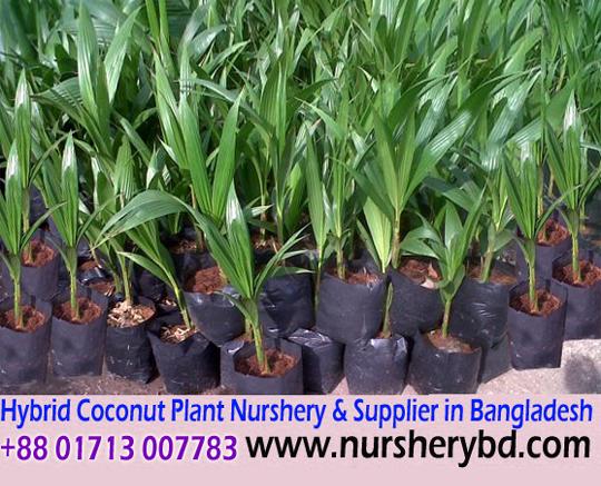 Hybrid Coconut Tree Seedlings Seedling Plant Nursery In Desh