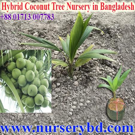 Xiem Green Coconut Tree Nursery In Desh