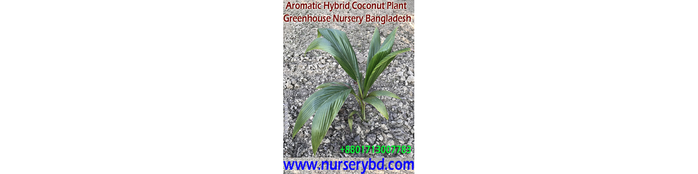 Red Aromatic Coconut Seedling Plant Supplier Company in Thailand, Green Aromatic Coconut Seedling Plant Supplier Company in Thailand, Hybrid Coconut Seedling Plant Supplier Company in Vietnam, Red Hybrid Coconut Seedling Plant Supplier Company in Vietnam, Green Hybrid Coconut Seedling Plant Supplier Company in Vietnam