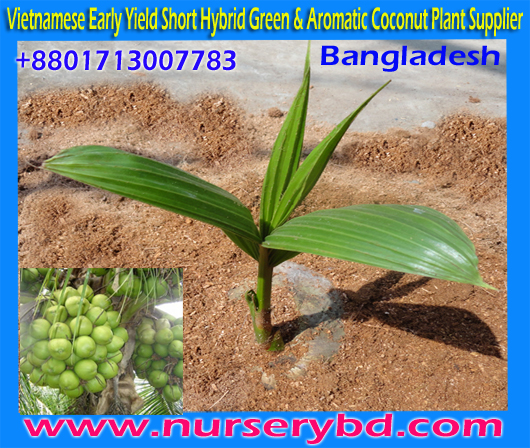 Short Green and Blue Tall Coconut Seedlings Plants Importer Nursery in Vietnam, Dwarf Green Aromatic Coconut Seedlings Plants Manufacturers in Thailand, Dwarf Green and Blue Coconut Seedlings Plants Importer Nursery in Vietnam, Short Green and Blue Coconut Seedlings Plants Importer Nursery in Vietnam