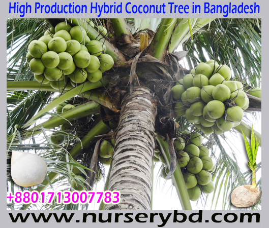 Coconut Seedling Manufacturer Exporter and Supplier Company in Bangladesh, Hybrid Dwarf Aromatic Green Coconut Seedling Plant Supplier in Bangladesh, Hybrid Short Yellow Coconut Seedling Tree Supplier Nursery in Bangladesh, Vietnamese Hybrid Short Green Coconut Seedling Plant Supplier in Bangladesh