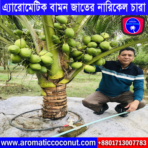 Bangladesh Short Hybrid Coconut Tree Supplier Nursery, Short Coconut Tree in Vietnam, Short Coconut Tree Supplier in Vietnam, Short Hybrid Coconut Tree Supplier in Vietnam, Imported Hybrid Xiem Early Yield Dwarf Coconut Tree Supplier Company in Bangladesh