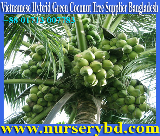 Vietnamese Coconut Tree Manufacturer Nursery in Bangladesh, Vietnam Coconut Plant Manufacturer Nursery in Bangladesh, Vietnam Coconut Tree Manufacturer Nursery in Bangladesh, Vietnamese Coconut Tree Manufacturer Nursery in Bangladesh, Vietnam Coconut Tree Manufacturer Nursery in Bangladesh