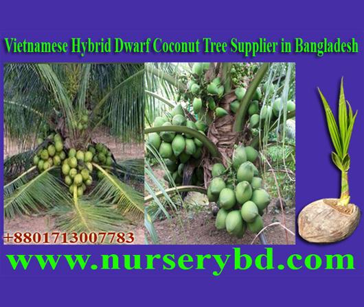 Desh Hybrid Coconut Tree Nursery Supply
