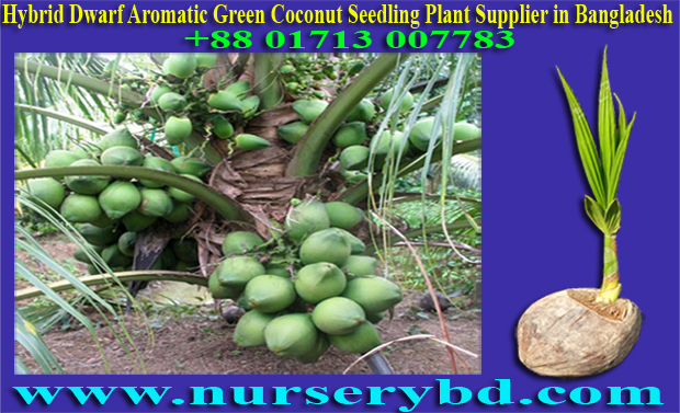 Hybrid Dwarf Aromatic Green Coconut Seedling Plant, Hybrid Dwarf Early Yield Coconut Seedling Plant Supplier in Bangladesh, Dwarf Aromatic Coconut Seedling Tree Manufacturer, Dwarf Aromatic Coconut Seedling Plant Manufacturer, Dwarf Aromatic Coconut Seedlings Plants Manufacturers in Bangladesh