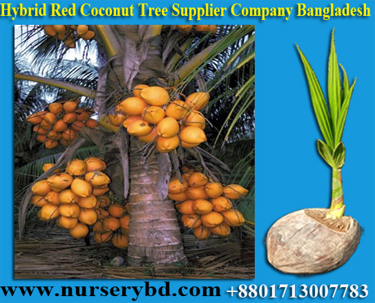 Hybrid Early Yield Dwarf Coconut Seedling Plant Supplier in Bangladesh, Young Coconut and Coconut Seedling Plants Suppliers Company in Philippine, Young Coconut and Coconut Seedling Plants Suppliers Company in Indonesia, Fresh Young Coconut and Coconut Seedling Plants Suppliers Company in Indonesia