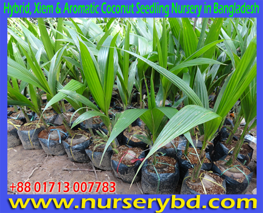 Hybrid Green Coconut Plant Nursery in Bangladesh, Imported Vietnamese Hybrid Xiem Early Yield Dwarf Coconut Tree Supplier Company in Bangladesh, Imported Hybrid Xiem Early Yield Dwarf Coconut Tree Supplier in Bangladesh, Short Hybrid Coconut Tree Supplier in Bangladesh