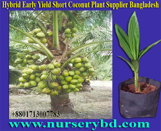 Green Hybrid Coconut Seedling Plant Supplier Company in Vietnam, Xiem Coconut Seedling Plant Supplier Company in Vietnam, Red Xiem Coconut Seedling Plant Supplier Company in Vietnam, Green Xiem Coconut Seedling Plant Supplier Company in Vietnam