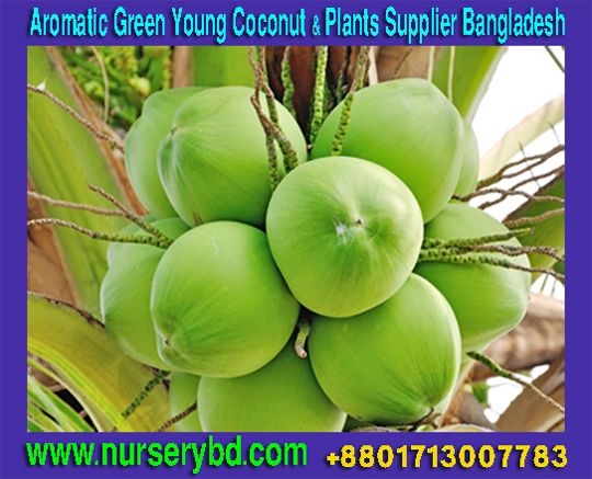 Dwarf Green and Blue Coconut Seedlings Plants Manufacturers in Vietnam, Dwarf Aromatic Coconut Seedlings Plants Manufacturers in Thailand, Dwarf Aromatic Coconut Seedlings Plants Manufacturers, Vietnamese Coconut Tree Importer Company in Bangladesh