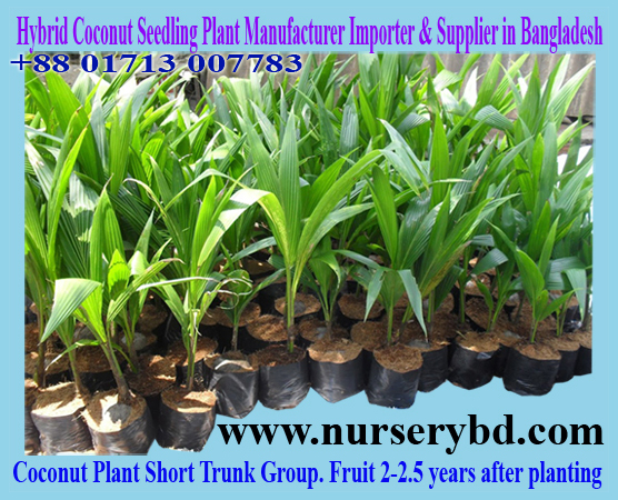 Vietnamese Hybrid Short Yellow Coconut Seedling Tree Supplier Bangladesh, Hybrid Coconut Seedling Tree for Sale in Bangladesh, Hybrid Coconut Seedling Tree for Sale in Vietnam, Aromatic Hybrid Dwarf Coconut Seedling Tree for Sale in Vietnam, Aromatic Hybrid Dwarf Coconut Seedling Tree for Sale in Thailand