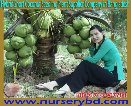 Hybrid Dwarf Coconut Seedling Plant Supplier in Bangladesh, Hybrid Dwarf Coconut Tree Supplier in Bangladesh, Supplier in Bangladesh, Hybrid Dwarf Green Milky Coconut Seedling Plant Supplier in Bangladesh, Hybrid Dwarf Green Milky Coconut Plant Supplier in Bangladesh