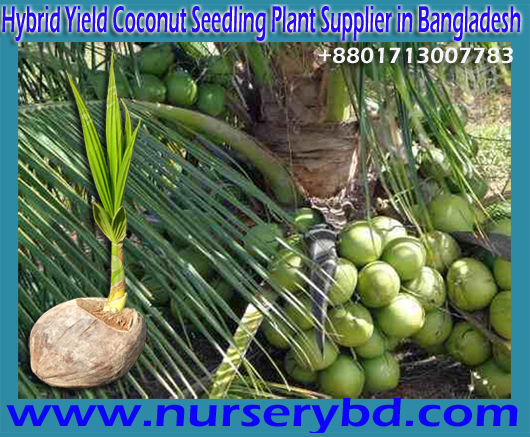 Vietnamese Hybrid Xiem Short Green Coconut Seedling Plant Supplier in Bangladesh, Vietnamese Hybrid Xiem Short Green Coconut Seedling Tree Supplier in Bangladesh, Early Production Coconut Tree Supplier in Bangladesh, Early Yield Dwarf Coconut Tree Supplier Company in Bangladesh