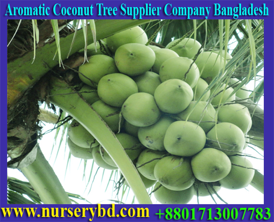 Early Yield Coconut Seedling Plant Manufacturer Supplier Company in Bangladesh, Early Yield Coconut Seedling Tree Manufacturer Supplier Company in Bangladesh, Early Yield Coconut Production Seedling Tree Manufacturer Supplier Company in Bangladesh, Hybrid Coconut Dwarf Seedling Tree Sale Price in Bangladesh