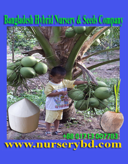 Xiem Hybrid Short Coconut Seed Tree Supplier Company in Bangladesh, Xiem Hybrid Short Coconut Seedling Tree Supplier Company in Bangladesh, List of Seed Companies in Bangladesh, Vietnamese Hybrid Dwarf Coconut Tree Supplier in Bangladesh, Vietnamese Hybrid Dwarf Coconut Plant Supplier in Bangladesh