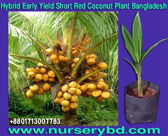 Bangladesh Coconut Plant Nursery Supplier Company, Vietnam Coconut Plant Nursery Supplier Company, Bangladesh Coconut Plant Nursery Supplier Company, Aromatic Coconut Seedling Tree Supplier Company in Bangladesh, Aromatic Coconut Seedling Tree Supplier Company in Thailand