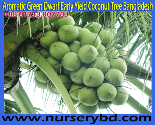 Early Production Coconut Tree Manufacturer Exporter and Supplier Nursery in Bangladesh, Imported Aromatic Dwarf Coconut Seedling Plant Supplier Company in Bangladesh, Early Production Coconut Tree Manufacturer Exporter and Supplier Company in Bangladesh