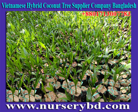 Vietnamese Coconut Tree Importer Company in Bangladesh, Green Xiem Coconut Tree Supplier Company in Bangladesh, Vietnam Hybrid Green and Blue Coconut Tree Supplier Bangladesh, Vietnamese Coconut Plant Importer Company in Bangladesh, Hybrid Vietnamese Coconut Plant Importer Company in Bangladesh