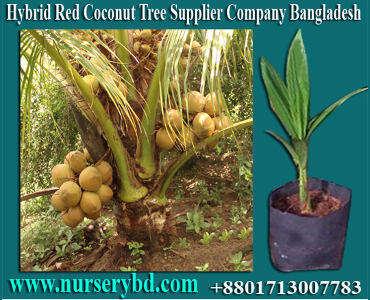 Aromatic Coconut Seedling Plant Supplier Company in Thailand, Aromatic Coconut Seedling Plant Supplier in Thailand, Coconut Seedlings Plants Suppliers in Thailand, Coconut Seedlings Plant Supplier in Thailand, Coconut Seedlings Plant Supplier in Vietnam, Coconut Seedlings Plant Supplier in Malaysia