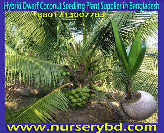 Hybrid Fruits Seeds Supplier Company in Bangladesh, Green Young Coconut & Coconut Seed Plant Supplier in Bangladesh, Green Young Coconut & Coconut Seedling Plant Supplier in Bangladesh, Hybrid Dwarf Aromatic Coconut Seedling Plant Supplier in Bangladesh, Hybrid Dwarf Early Yield Coconut Seedling Tree Supplier in Bangladesh