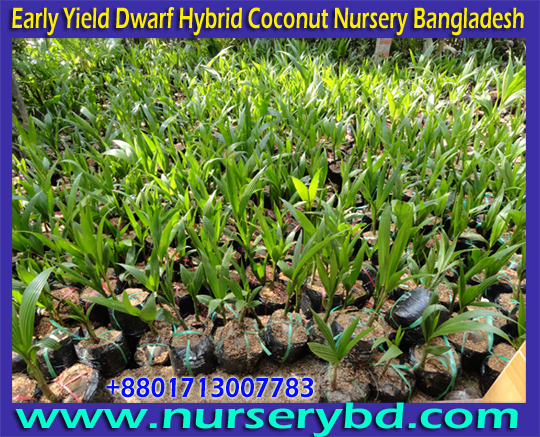 Hybrid Short Coconut Seedling Plant Supplier in Bangladesh, Hybrid Short Coconut Seedling Tree Supplier in Bangladesh, Hybrid Short Coconut Seedling Tree Supplier Company in Bangladesh, Short Coconut Seedling Tree Supplier Company in Bangladesh, Short Coconut Seed Tree Supplier Company in Bangladesh